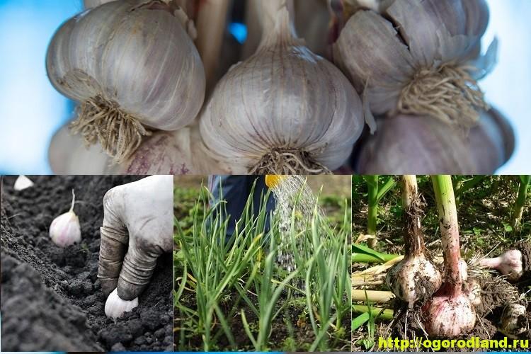 Сорта чеснока. Выращивание (посадка и уход за чесноком) 3