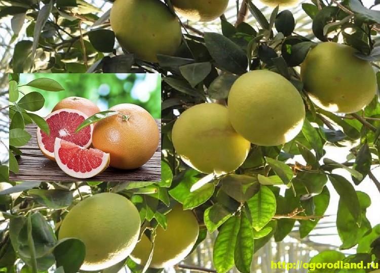 Выращивание грейпфрута в домашних условиях. Сорта грейпфрута 1