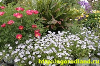 Немофила – украшение клумбы. Выращивание и сорта немофилы 6