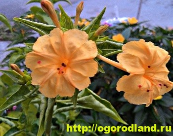 Мирабилис - богиня ночи. Выращивание мирабилиса. Фото цветов 7