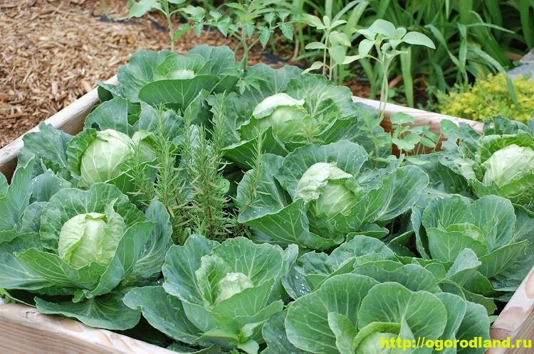 Способ выращивания капусты. Капуста в ящиках 1