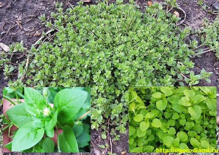 Трава мокрица (звездчатка) – полезные свойства и применение