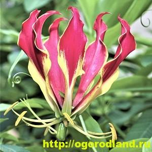 Глориоза - роскошная лиана. Выращивание в домашних условиях