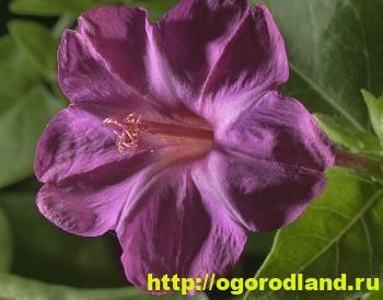 Мирабилис - богиня ночи. Выращивание мирабилиса. Фото цветов 9