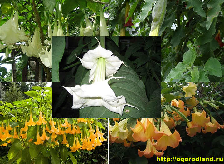 Бругмансия - красота Ангельских труб. Выращивание и уход 12