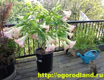 Бругмансия - красота Ангельских труб. Выращивание и уход 10