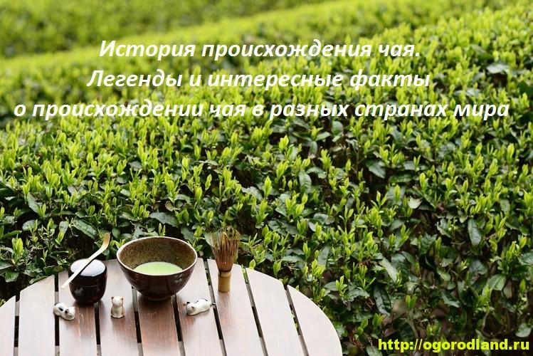 История происхождения чая. Легенды и факты о чае