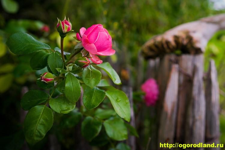 Розы в саду. Уход за розами весной