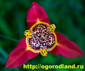 Тигридия. Выращивание Тигридии (посадка и уход за цветком)