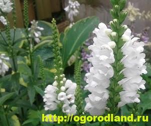 Физостегия. Выращивание и уход за физостегией 5