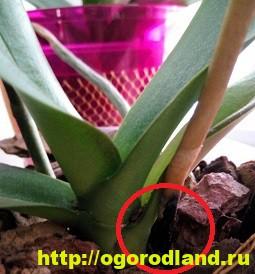 Как спасти орхидею? Лечение болезней орхидеи. Проблемы ухода 7