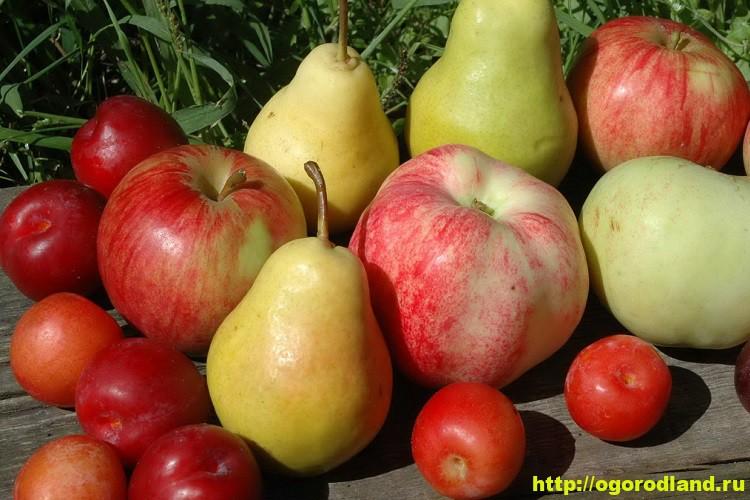 Как повысить урожайность фруктовых деревьев?