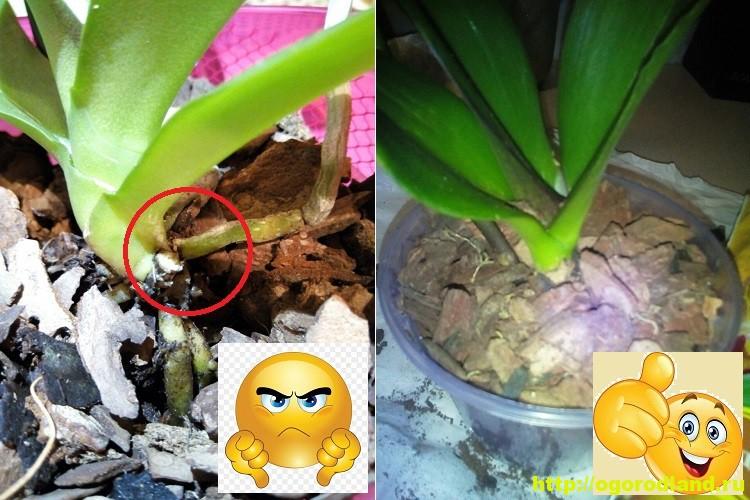 Как спасти орхидею? Лечение болезней орхидеи. Проблемы ухода 3