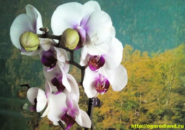 Как выбрать орхидею. Орхидея после покупки - ваши действия