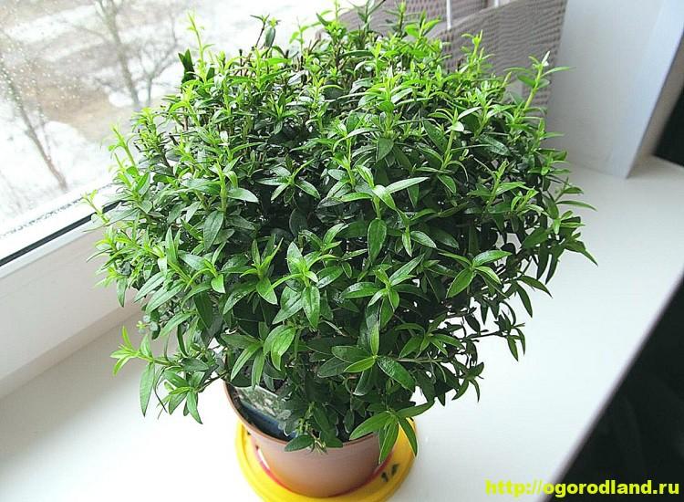 Миртовое дерево. Выращивание Мирта в доме (посадка и уход) 1