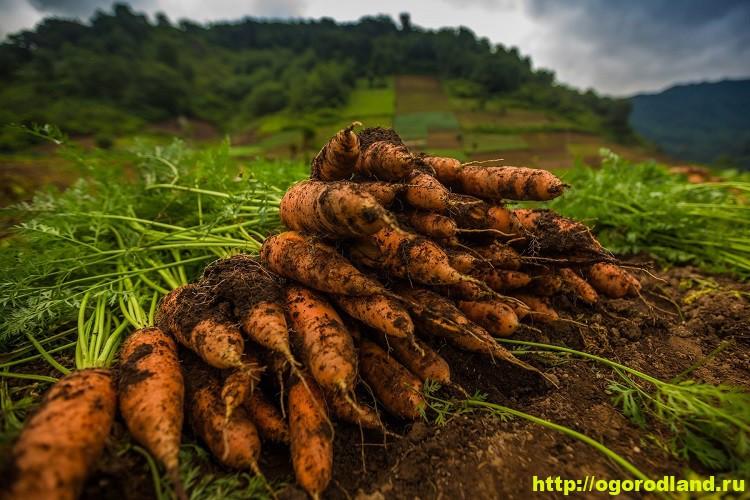 Морковь в Сибири. Когда сеять и как получить хороший урожай 1