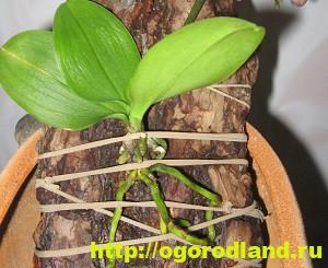 Корни орхидеи сгнили. 7 способов наращивания корней орхидеи 6