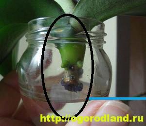 Корни орхидеи сгнили. 7 способов наращивания корней орхидеи 3