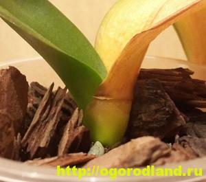 Корни орхидеи сгнили. 7 способов наращивания корней орхидеи 7