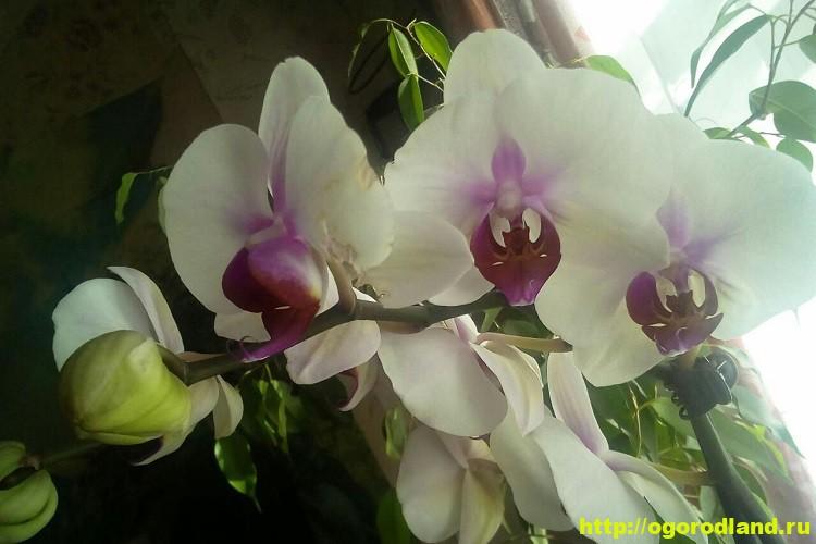 Орхидеи в доме. Сорта и виды. Все важное в уходе за орхидеей 3