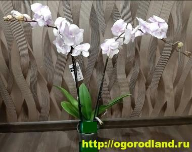 Орхидеи в доме. Сорта и виды. Все важное в уходе за орхидеей 11