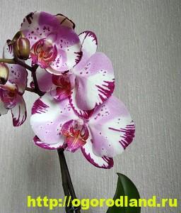 Орхидеи в доме. Сорта и виды. Все важное в уходе за орхидеей 4