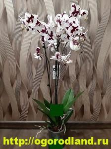 Орхидеи в доме. Сорта и виды. Все важное в уходе за орхидеей 9