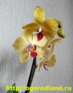 Орхидеи в доме. Сорта и виды. Все важное в уходе за орхидеей 12