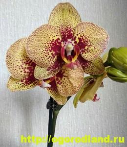 Орхидеи в доме. Сорта и виды. Все важное в уходе за орхидеей 5