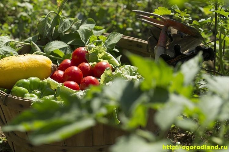Простые способы повышения урожайности на вашем огороде 1