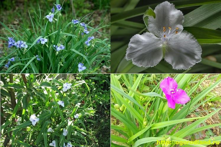 Традесканция садовая. Выращивание и уход за традесканцией 10