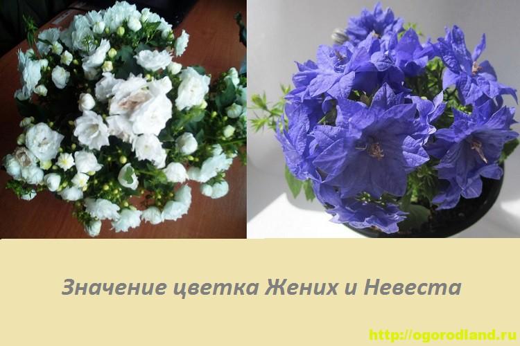 Цветок Жених и Невеста (Кампанула). Приметы и поверья