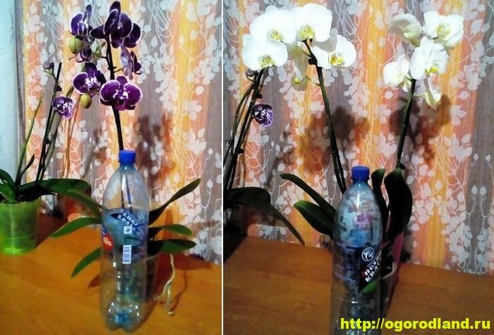 Орхидеи в доме. Сорта и виды. Все важное в уходе за орхидеей 7