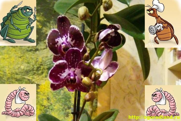Насекомые на орхидее. Как бороться с вредителями орхидеи 19