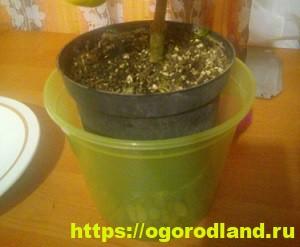 Каламондин в доме. Выращивание и уход за каламондином