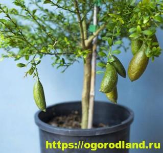 Пальчиковый лайм. Знакомство и выращивание в открытом грунте