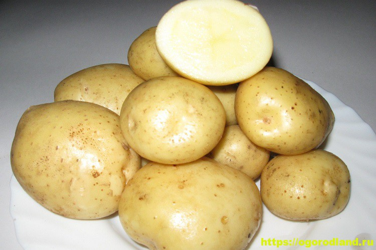 Сорт картофеля Адретта. Описание сорта 1