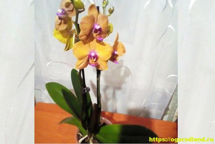 Стимуляция цветения орхидеи. Как заставить цвести красотку?