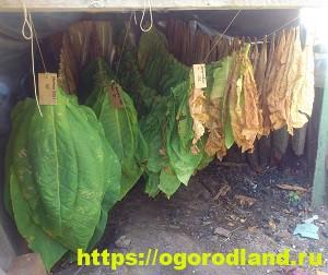 Выращивание табака. Как правильно собрать и высушить табак 3