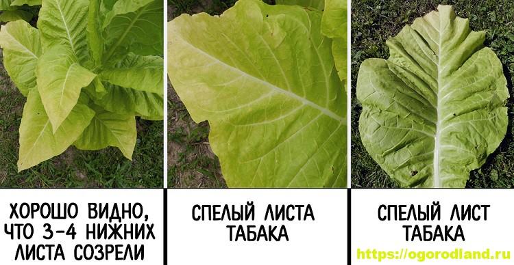 Выращивание табака. Как правильно собрать и высушить табак