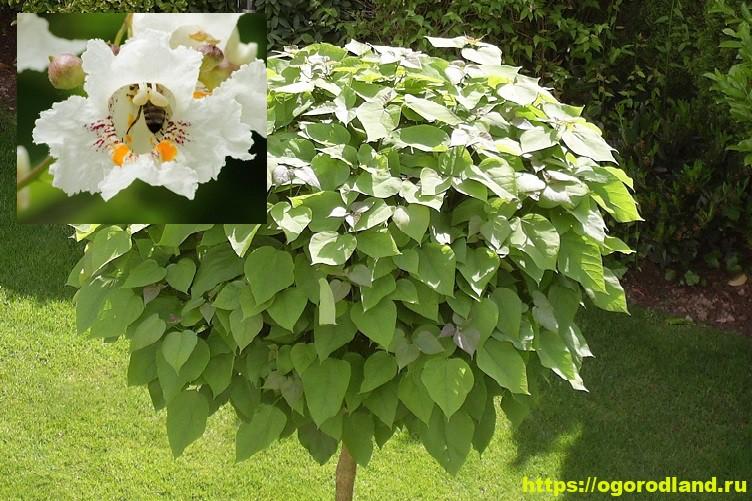 Катальпа – экзотика в вашем саду 3