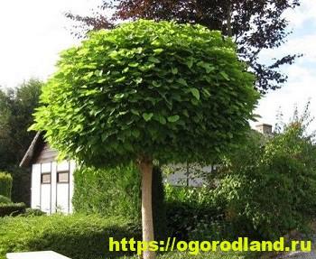 Катальпа – экзотика в вашем саду 6