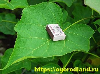 Катальпа – экзотика в вашем саду 2