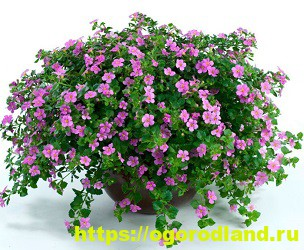 Красивые тенелюбивые растения для сада или балкона 2
