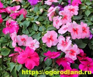 Красивые тенелюбивые растения для сада или балкона 12