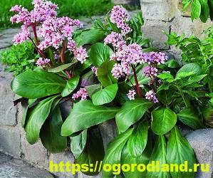 Красивые тенелюбивые растения для сада или балкона 5