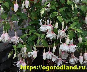 Красивые тенелюбивые растения для сада или балкона 11