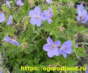 Красивые тенелюбивые растения для сада или балкона 7
