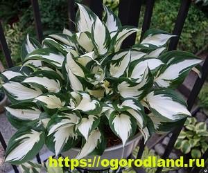 Красивые тенелюбивые растения для сада или балкона 13
