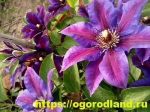 Ядовитые растения в саду. Топ 10 опасных для здоровья 5